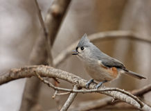 Tufted Titmouse (Baeolophus bicolor). Singing from a tree branch Royalty Free Stock Photos