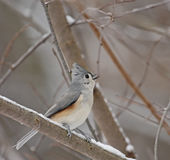 Tufted Titmouse (Baeolophus bicolor). Perched on a snowy tree branch singing Stock Photo