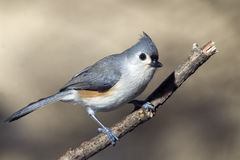The tufted titmouse (Baeolophus bicolor). At a perch Stock Images