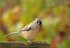 Tufted Titmouse, Baeolophus bicolor. Perched on a fence Stock Images