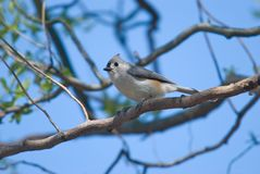 Tufted Titmouse (Baeolophus bicolor) Royalty Free Stock Images
