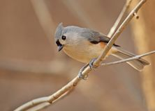 Tufted Titmouse, Baeolophus bicolor Royalty Free Stock Images