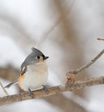 Tufted Titmouse, Baeolophus bicolor Stock Images