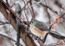 Tufted Titmouse, Baeolophus bicolor. On a tree branch with snowy background Royalty Free Stock Photos