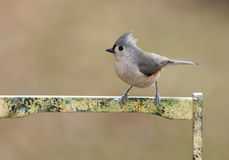 Tufted Titmouse (baeolophus bicolor) Royalty Free Stock Photos