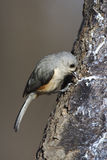 Tufted Titmouse (Baeolophus bicolor bicolor). On tree trunk eating suet Stock Photos