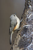 Tufted Titmouse (Baeolophus bicolor bicolor) Stock Image