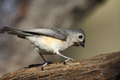 Tufted Titmouse (Baeolophus bicolor bicolor). On tree trunk Royalty Free Stock Photography
