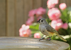 Tufted Titmouse, Baeolophus bicolor, Drinking Royalty Free Stock Photo