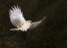 Tufted Titmouse (Baeolophus bicolor) flying Royalty Free Stock Photo