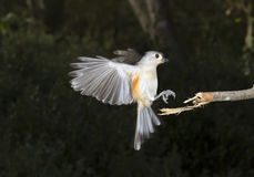 Tufted Titmouse (Baeolophus bicolor) flying Stock Photos
