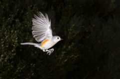 Tufted Titmouse (Baeolophus bicolor) flying Stock Images