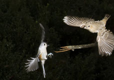 Tufted Titmouse (Baeolophus bicolor) and house finch (Haemorhous mexicanus) Royalty Free Stock Images