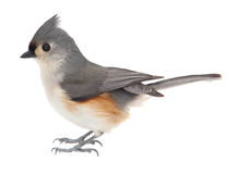 Tufted Titmouse, Baeolophus Bicolor, Isolated Stock Images