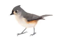 Tufted Titmouse, Baeolophus bicolor, isolated Royalty Free Stock Photos