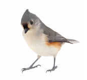Tufted Titmouse, Baeolophus bicolor, isolated Royalty Free Stock Image