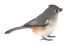 Tufted Titmouse, Baeolophus bicolor, isolated. On white Royalty Free Stock Image