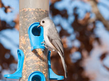 Tufted titmouse, Baeolophus bicolor Stock Photo