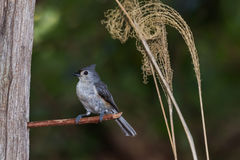 Tufted Titmouse Baeolophus bicolor perched. Tufted titmouse perched on a stick with plants in background Stock Images