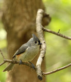 Tufted Titmouse, Baeolophus bicolor. Perched on tree branch Royalty Free Stock Photos