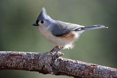 Tufted Titmouse. A Tufted Titmouse (Baeolophus bicolor) perching on a branch Stock Image