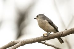 Tufted titmouse Baeolophus bicolor Royalty Free Stock Images
