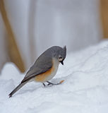 Tufted Titmouse, Baeolophus bicolor. Standing in the snow Stock Image