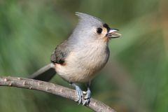 Tufted Titmouse (baeolophus bicolor) Stock Photos