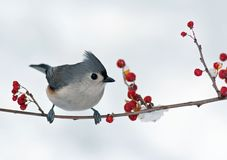 Tufted Titmouse and Berries. Tufted Titmouse (Baeolophus bicolor) perched on a branch with berries Stock Photo