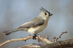 Tufted Titmouse bird. Closeup of Tufted Titmouse bird perched on branch outdoors stock image