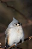 Tufted Titmouse bird. Portrait of Tufted Titmouse bird perched on branch with brown background Stock Photography