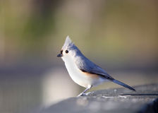 Tufted Titmouse bird Royalty Free Stock Photos