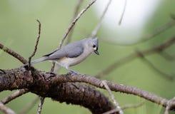 Tufted Titmouse bird Stock Image