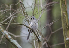 Tufted Titmouse bird Royalty Free Stock Images