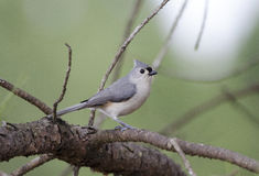 Tufted Titmouse bird Stock Images