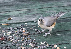 Tufted Titmouse with Bird Seed. Tufted Titmouse (Baeolophus bicolor ),  a small grey songbird, 'caught in the act' of seed picking Royalty Free Stock Images