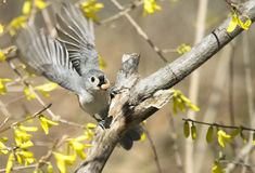 Tufted Titmouse Bird about To Fly Stock Image