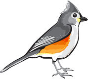Tufted Titmouse Bird vector illustration clip-art graphic design Royalty Free Stock Photography