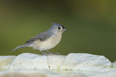 Tufted Titmouse on a birdbath Stock Photos