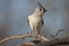 Tufted titmouse on branch. Tufted titmouse sitting forward on branch Stock Image