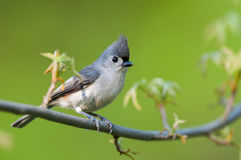 Tufted Titmouse. On a branch royalty free stock photos