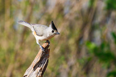 Tufted Titmouse on a branch Stock Photos