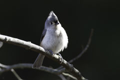 Tufted Titmouse on branch Stock Images