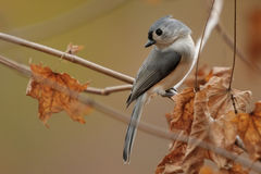 Tufted Titmouse 3c Stock Photography