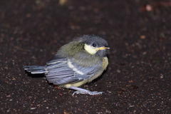 Tufted titmouse chick on the ground. Tufted titmouse chick sitting alone on the ground view 1 Royalty Free Stock Photography