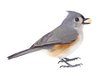 Tufted Titmouse Eating. Tufted titmouse, Baeolophus bicolor, eating a seed isolated on white Stock Image