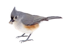 Tufted Titmouse Eating A Seed Stock Photos