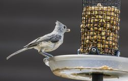 Tufted Titmouse. On feeder eating royalty free stock image