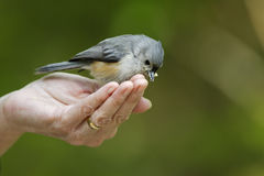 Tufted Titmouse feeding. Tufted Titmouse (Baeolophus bicolor bicolor) being feed by bird-watcher Royalty Free Stock Photo