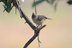 Tufted Titmouse Feeding Stock Photos
